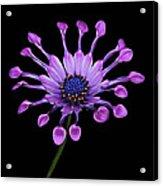Osteospermum Acrylic Print