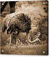 Ostrich Acrylic Print by Arne Hansen