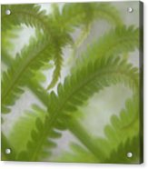 Ostrich Fern Frond Pattern Of Curves Acrylic Print