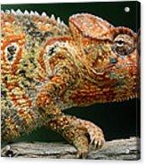 Oustalets Chameleon Furcifer Oustaleti Acrylic Print