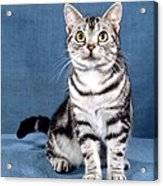 Outstanding American Shorthair Cat Acrylic Print