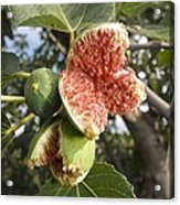 Over-ripe Figs On A Tree Acrylic Print