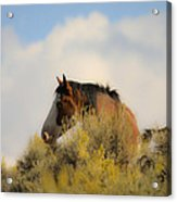 Over The Hill Pinto Acrylic Print