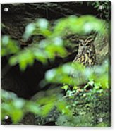Owl In Woodland, Sachsische Schweiz Acrylic Print