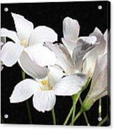 Oxalis Flowers 2 Acrylic Print