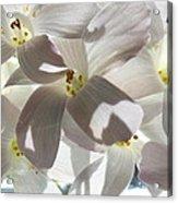 Oxalis Flowers Acrylic Print