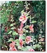 Oxenden Hollyhock Acrylic Print by Peter Sit