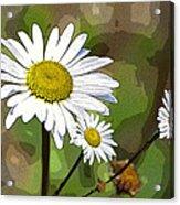 Oxeye Daisy Acrylic Print