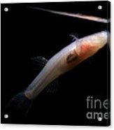 Ozark Cave Fish Acrylic Print