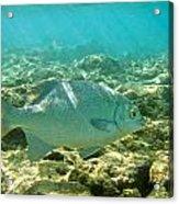 Pacific Chub 1080113.jpg Acrylic Print