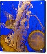 Pacific Sea Nettle Chrysaora Fuscescens Acrylic Print