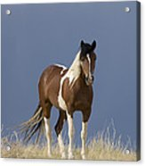 Paint Filly Before Acrylic Print