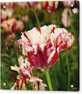 Painted Candy Cane Tulip Acrylic Print