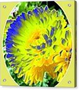 Painted Chrysanthemums Acrylic Print