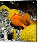 Painted Frogfish On Sponges Acrylic Print