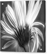 Painted Gerbera Daisy In Black And White Acrylic Print
