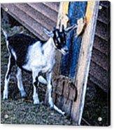 Painted Goat Acrylic Print