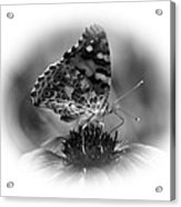 Painted Lady 1 Acrylic Print