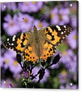 Painted Lady Among The Asters Acrylic Print