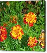 Painted Lady Butterfly In The Marigolds  Acrylic Print