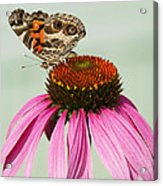Painted Lady Butterfly Acrylic Print