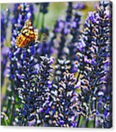Painted Lady Butterfly On Lavender Flowers Acrylic Print