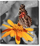 Painted Lady Butterfly On Zinnia Acrylic Print