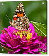 Painted Lady With Zinnia Acrylic Print