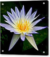 Painted Lily And Pads Acrylic Print