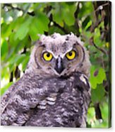 Painted Owl Acrylic Print
