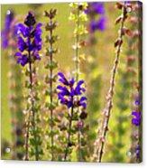 Painted Purple Sage Salvia Acrylic Print