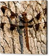 Painted Skimmer On Oak Acrylic Print