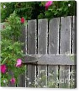 Painterly Fence And Roses Acrylic Print