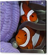 Pair Of Clown Anemonefish, Indonesia Acrylic Print