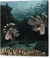 Pair Of Lionfish, Indonesia Acrylic Print