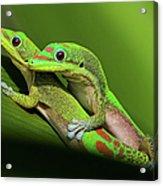 Pair Of Mating Green Geckos Acrylic Print