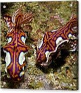 Pair Of Miamira Magnifica Nudibranch Acrylic Print