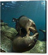 Pair Of Playful Sea Lions, La Paz Acrylic Print by Todd Winner
