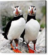 Pair Of Puffins Acrylic Print