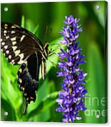 Palamedes Swallowtail Butterfly Acrylic Print