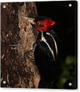Pale-billed Woodpecker Acrylic Print