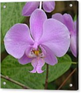 Pale Pink Orchid Acrylic Print