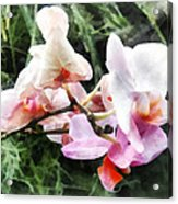 Pale Pink Phalaenopsis Orchids Acrylic Print