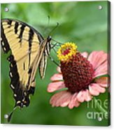Pale Swallowtail And A Halo Acrylic Print