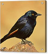 Pale-winged Starling Acrylic Print