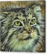 Pallas Cat Acrylic Print