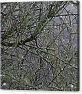 Palo Verde In The Rain Acrylic Print