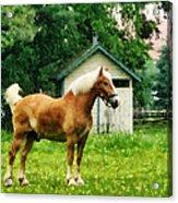Palomino In Pasture Acrylic Print