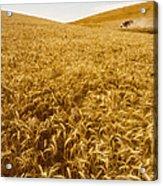 Palouse Wheat Acrylic Print