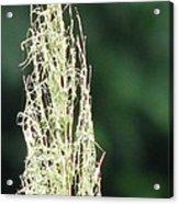 Pampas Grass 02 Acrylic Print